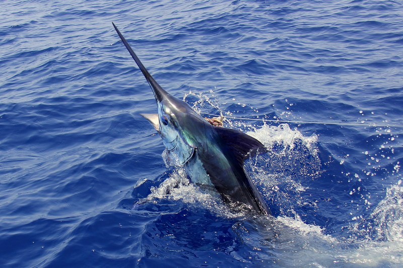 Inhaca Blue Marlin bite off the scale